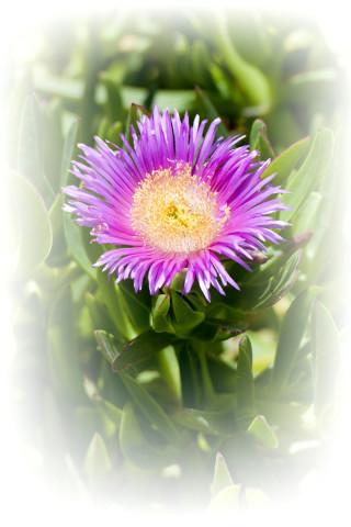 gallery valena mare garden flower